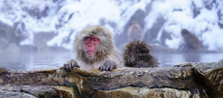 Onsen monkey snow